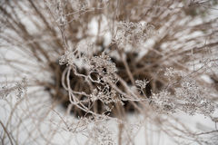 Frosting on frozen twigs. Frosting in the morning on frozen twigs Stock Photo