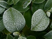 frostleaves royaltyfria bilder
