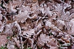 Frostnipped Oakleaves on the green grass lawn Royalty Free Stock Photo