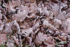 Frostnipped Oakleaves på gräsmattan för grönt gräs Royaltyfri Foto