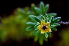 Frostnipped Shrubby CinquefoilDasiphora fruticosa Fotografering för Bildbyråer