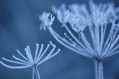 Frosts. Early morning frost on grass and hogweed at a nature reserve in Somerset, England Stock Image