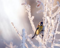 Frosty. A Blue Tit (Parus caeruleus) in the frosty landscape. Uppland, Sweden stock photography
