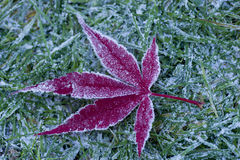 Frosty acer leaf Stock Images