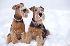 Frosty Airedale Terrier Dogs. In snow Royalty Free Stock Image