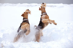Frosty Airedale Terrier Dogs. Jumping in snow Stock Photos
