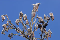 Frosty alder. Branches of an alder tree with frost on in sunshine stock photography