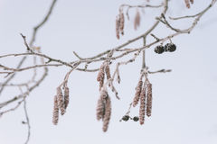 Frosty alder tree branch closeup Royalty Free Stock Photo