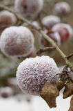 Frosty apples outdoor Royalty Free Stock Images
