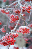 Frosty Ash berries. Frosty red Ash berries on a branch during winter Royalty Free Stock Images