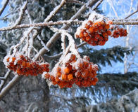 Frosty ashberry bunch stock photography