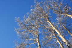 Frosty Aspen Trees in an Alaskan Forest Royalty Free Stock Images