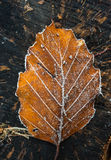 Frosty autumn leaf background. Closeup frosty autumn leaf background texture Stock Image