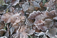 Frosty Autumn Leaves Royalty Free Stock Image