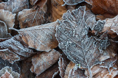 Frosty autumn leaves background Stock Image
