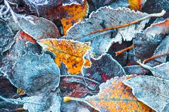 Frosty autumn leaves in november royalty free stock photo