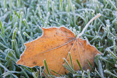 Frosty autumn maple leaf. Closeup of frosty yellow maple leaf on grass at cold autumn morning Stock Images