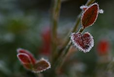 Frosty autumn morning blueberry view stock images