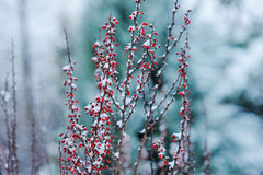 Frosty barberry in winter snowy garden Royalty Free Stock Photo