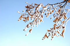 Frosty basswood blossoms at winter Stock Images