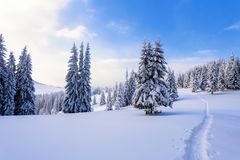 On a frosty beautiful day among high mountains are magical trees covered with white fluffy snow against the winter landscape. On a frosty beautiful day among royalty free stock image