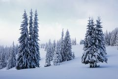 On a frosty beautiful day among high mountains are magical trees covered with white fluffy snow. Royalty Free Stock Photography