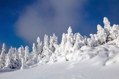 On a frosty beautiful day among high mountains are magical trees covered with white snow. Royalty Free Stock Photos