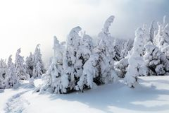 On a frosty beautiful day among high mountains and peaks are magical trees covered with white fluffy snow. On a frosty beautiful day among high mountains and royalty free stock photo