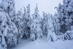 On a frosty beautiful day among mountains are magical trees covered with white fluffy snow against the idyllicl landscape. Scenery for the tourists. The wide royalty free stock images