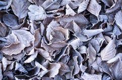 Frosty beech leaves closeup Stock Photo