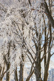 Frosty beech trees Stock Photography