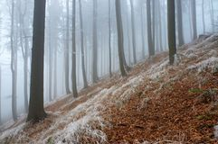 In frosty beechwood. With fog in backcloth Stock Image