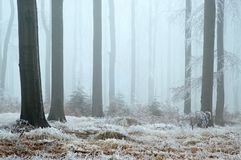In frosty beechwood Stock Photography