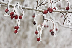 Frosty berries. Red frosty berries in the grey background royalty free stock images