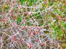 Frosty Berries Christmas Background. Red, green and frosty branches are for Christmas, Holiday, or Winter background Royalty Free Stock Images