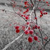 Frosty berries. First frost on my little tree in the backyard Stock Photography