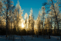Frosty birch forest with the sun in the background. Beautiful winter picture of frosty birch forest with the sun glistening through. blue skies and lots of snow Royalty Free Stock Photography