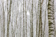Frosty birch forest Stock Images