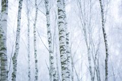 Frosty birch forest Royalty Free Stock Photo