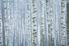 Frosty birch forest Royalty Free Stock Image