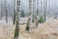 Frosty birch forest Stock Photo