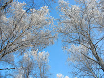 Frosty birch tops against blue sky background Stock Photos