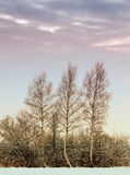 Frosty Birch trees Royalty Free Stock Photos
