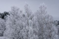 Birch trees with branches covered with frost Royalty Free Stock Photos