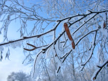 Frosty birch twigs with catkins royalty free stock images