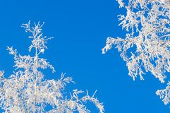 Frosty birches Stock Image