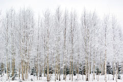 Frosty birches Stock Images