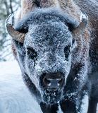 Frosty bison face Stock Image