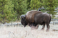 Frosty Bison Stock Photo