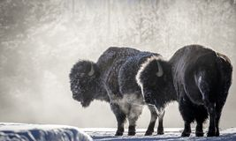 Frosty bison steam breath yellowstone royalty free stock photography